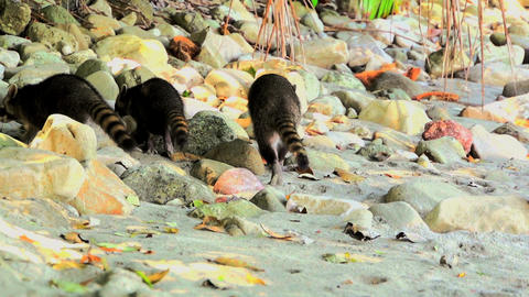 Raccoons on the beach 04 Stock Video Footage
