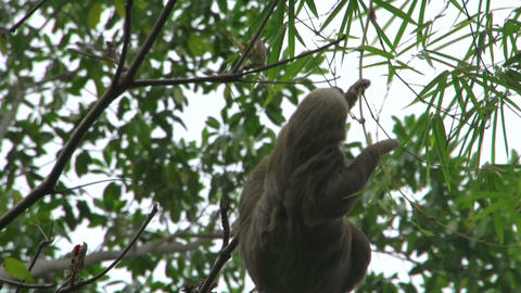 Sloth in a tree 02 Stock Video Footage