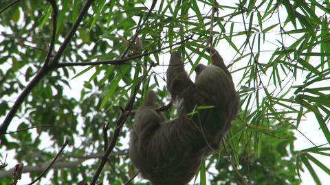 Sloth in a tree 02 Footage