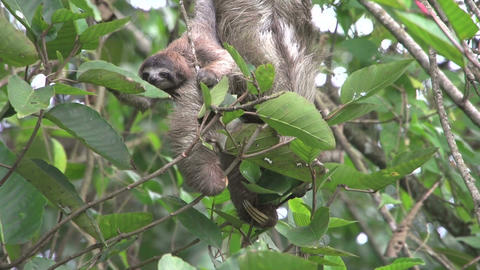 Sloth mother baby 02 Stock Video Footage