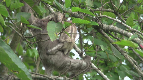 Sloth mother baby climing 02 Stock Video Footage