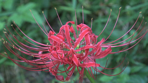 Red Spider Lily close up Stock Video Footage
