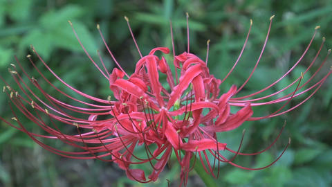 Red Spider Lily close up Footage