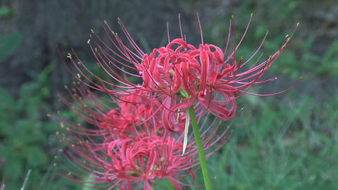 Red Spider Lily Stock Video Footage