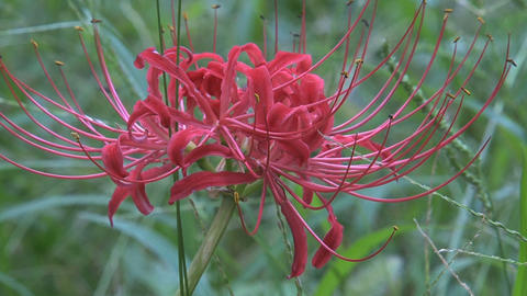 Red Spider Lily 06 Footage