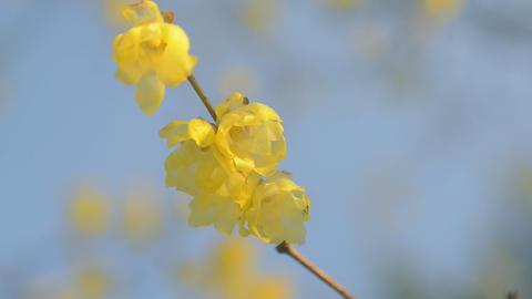 Flowers of Wintersweet,in Koganei Park,Tokyo,Japan Footage