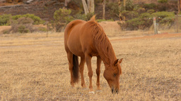 Horse Grazing in a Paddock in the Australian Summer Footage