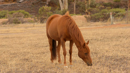Horse Grazing in a Paddock in the Australian Summer Stock Video Footage