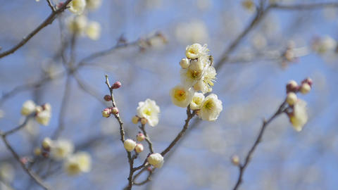 Flowers of White Plum and Bee in Koganei park,Toky Stock Video Footage