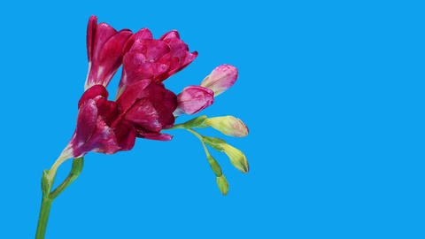 Time-lapse opening purple Freesia flower buds ALPHA... Stock Video Footage