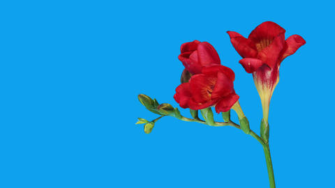 Time-lapse opening red Freesia flower buds ALPHA matte,... Stock Video Footage