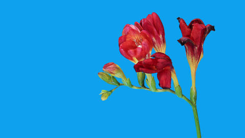 Time-lapse opening red Freesia flower buds ALPHA matte, (Freesia double Red) Footage