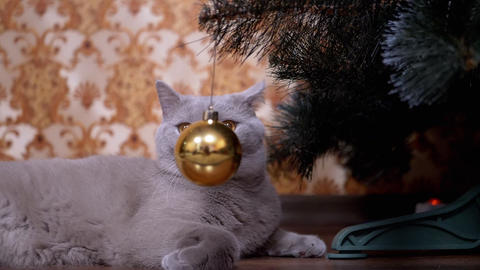 Gray British Purebred Cat with Green Eyes Follows Movement of Christmas Tree Toy Live Action