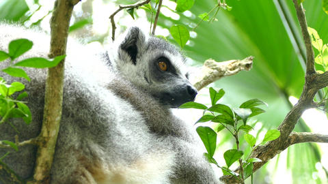 Ring-tailed lemur or Lemur catta Footage