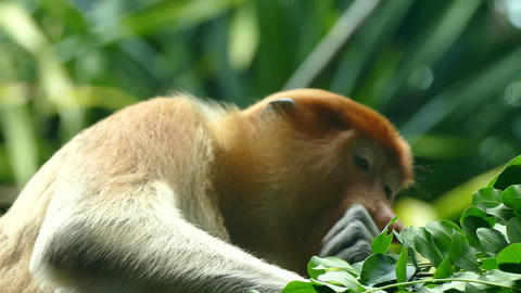 Proboscis monkey female, eating leaf Footage