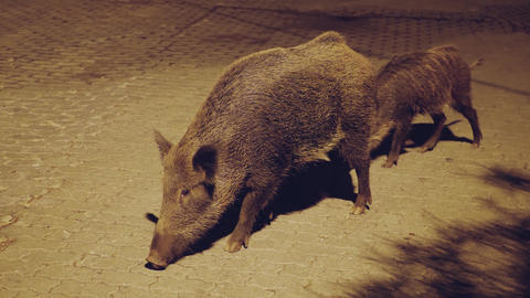 Two wild boars Live Action