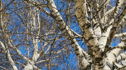 View of birch trees Footage