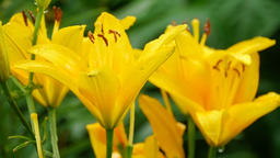 Yellow Lily flower after rain ビデオ