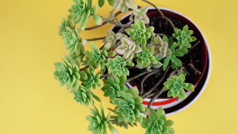 motion over exotic echeveria with small leaves on yellow Live Action