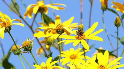 Jerusalem Artichoke Bumblebee Footage
