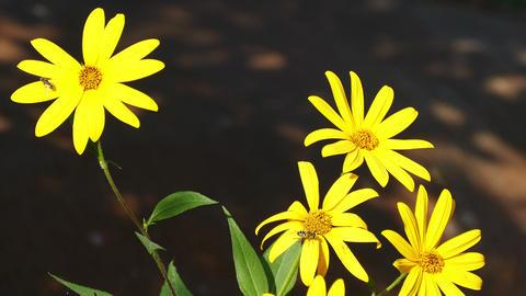 Jerusalem Artichoke Flowers Bees Footage