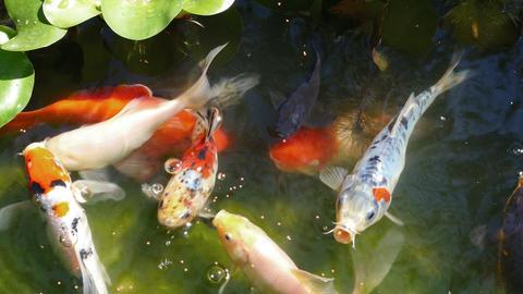 Feeding Multicolored Ornamental Fishes Pond Footage