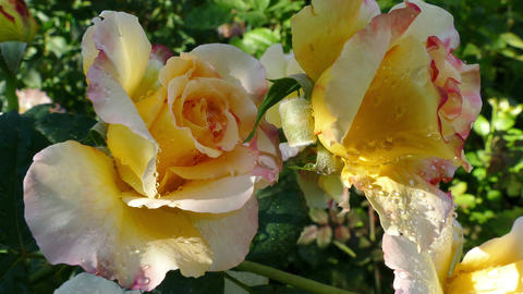Romantic Blooms Hybrid Tea Rose Garden Footage