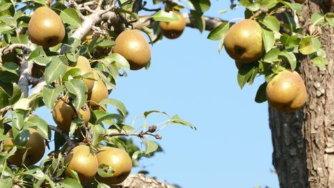 Pear Harvest Sunrise Footage