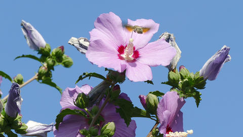 Bee Hawk Hibiscus Pollination Blue Sky Footage