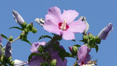 Bee Hawk Hibiscus Blue Sky Live Action