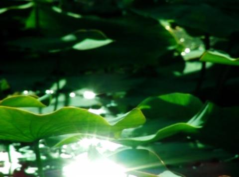 Lotus Leaves 03 Loop Stock Video Footage