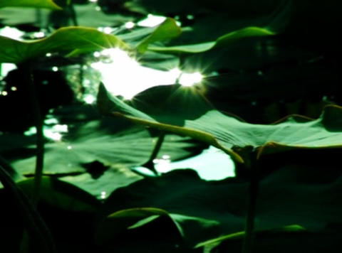 Lotus Leaves 07 Loop Stock Video Footage
