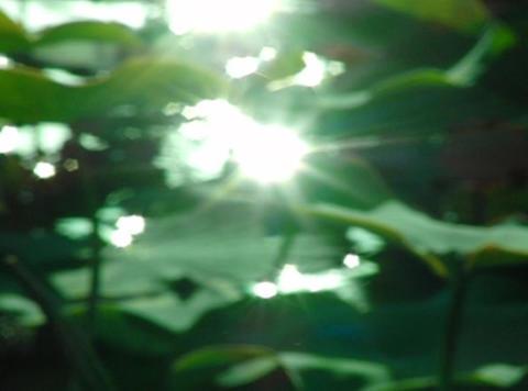 Lotus Leaves 09 Loop Stock Video Footage