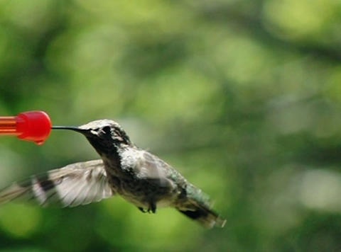 Humming Bird 01 210fps Stock Video Footage
