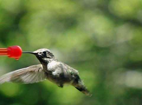 Humming Bird 01 210fps Stock Video Footage