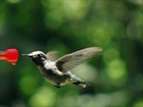 Humming Bird 02 840fps Stock Video Footage