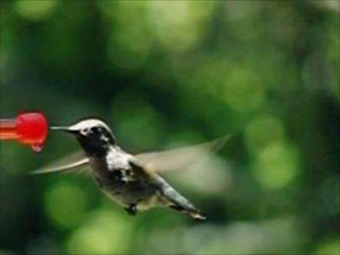 Humming Bird 02 840fps Stock Video Footage