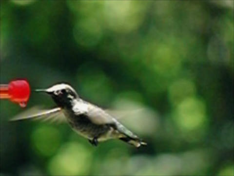 Humming Bird 02 Loop 420fps Stock Video Footage
