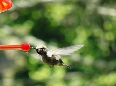 Humming Bird 04 fly in 700fps Footage