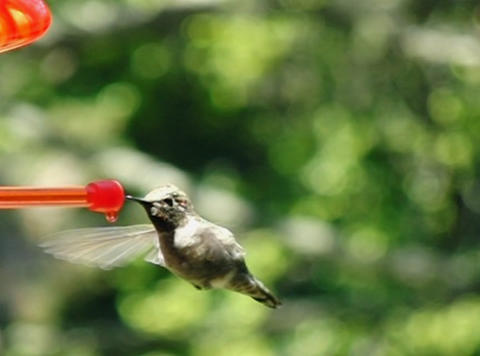 Humming Bird 04 fly in 700fps Stock Video Footage