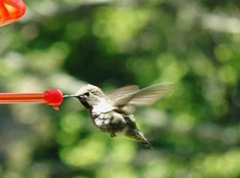 Humming Bird 06 through up 210fps Stock Video Footage