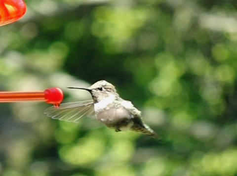 Humming Bird 06 through up 210fps Footage