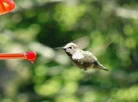 Humming Bird 06 through up 210fps Stock Video Footage