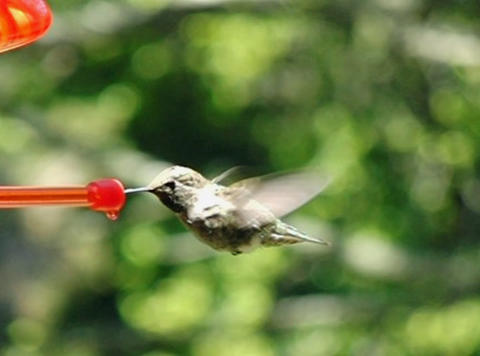 Humming Bird 07 Poop 210 fps Stock Video Footage