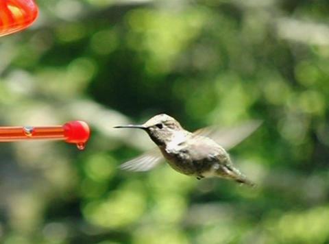 Humming Bird 07 Poop 210 fps Stock Video Footage