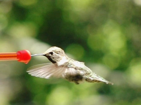Humming Bird 08 Red Fly away 210fps Footage