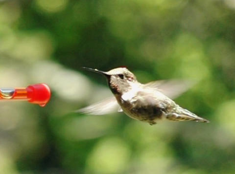 Humming Bird 09 Red Loop 210fps Footage