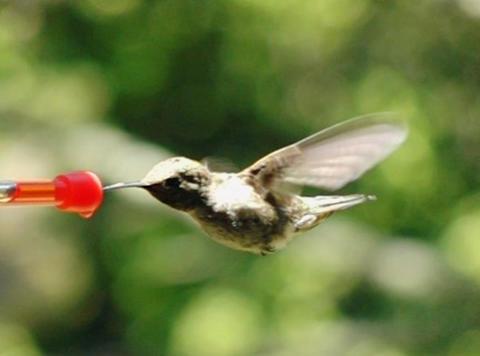 Humming Bird 09 Red Loop 210fps Stock Video Footage
