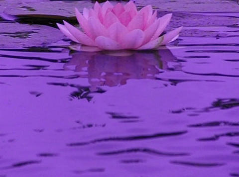 Lotus A Water Drops and Ripples 1 Loop Stock Video Footage
