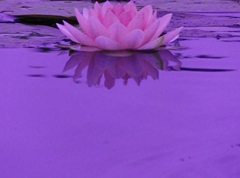 Lotus A Water Drops and Ripples 3 Loop Stock Video Footage